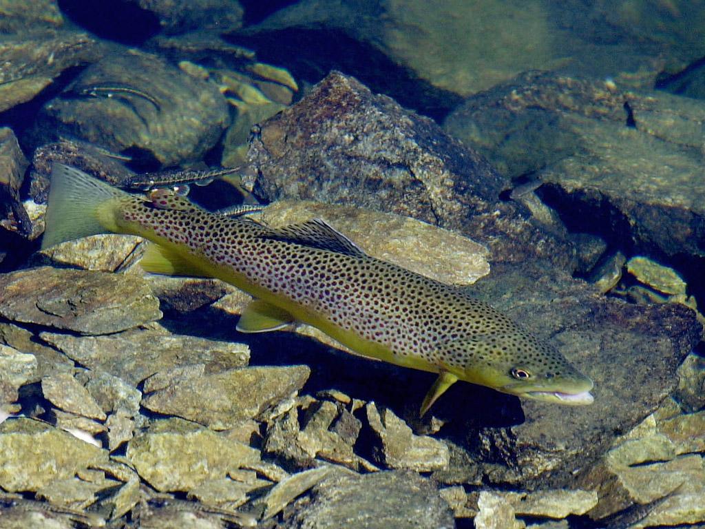 les eaux fraîches de montagne hébergent de nombreuses truites sauvages avec votre Guide de pêche Ardèche et Cévennes.