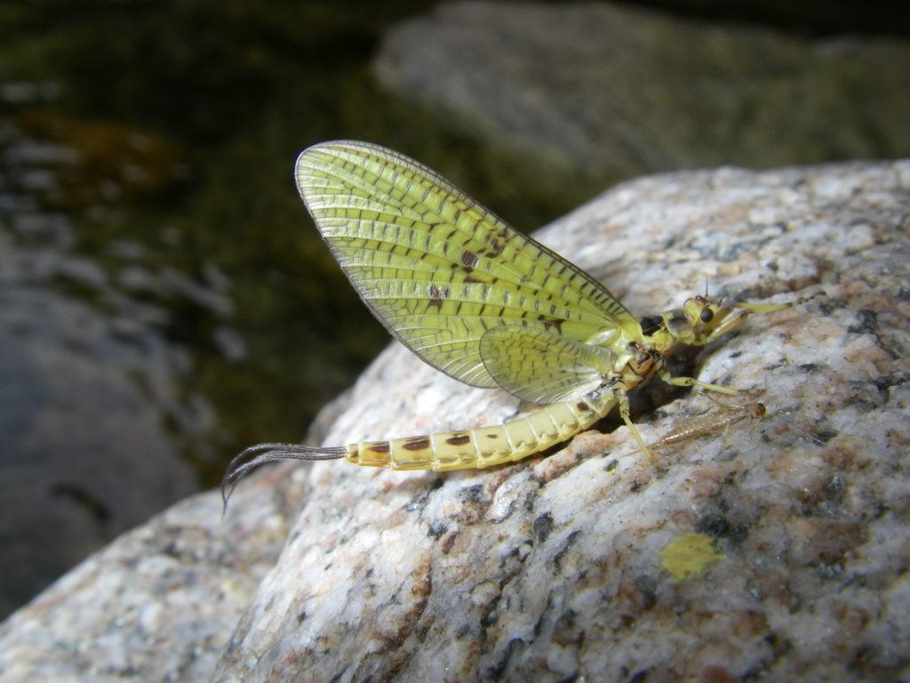 éphémère observée lors d'un stage perfectionnement mouche ardèche