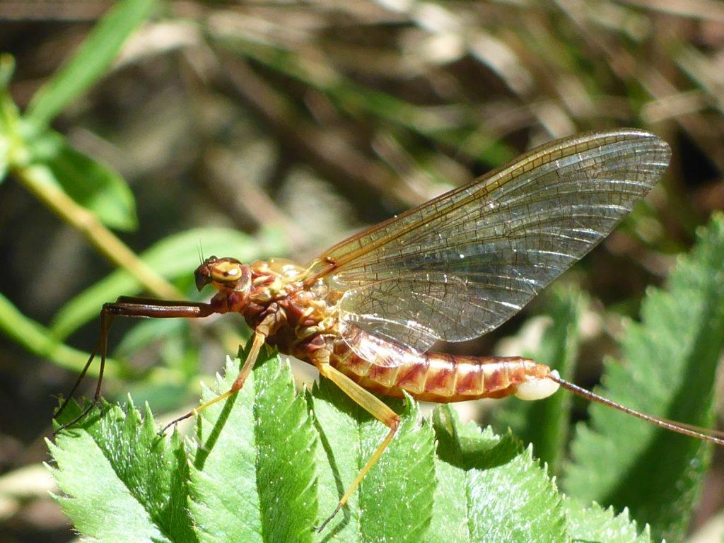Guide pêche mouche Ardèche et Cévennes, une éphémère ecdyonurus observée dans la ripisylve en bord de rivière, durant le stage mouche Ardèche vous bénéficierez de l'expertise d'un guide professionnel