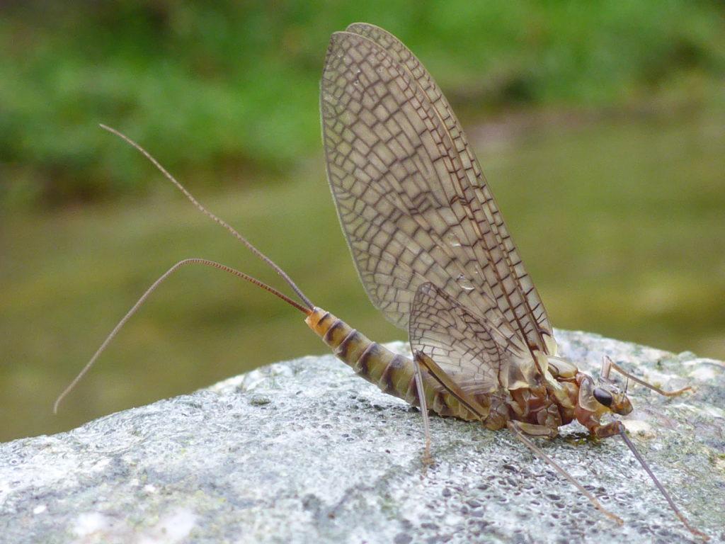 éphémère observée en bord de rivière lors d'un stage découverte mouche Ardèche